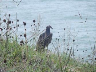 Águilas a 3 metros en Praia do Rosa