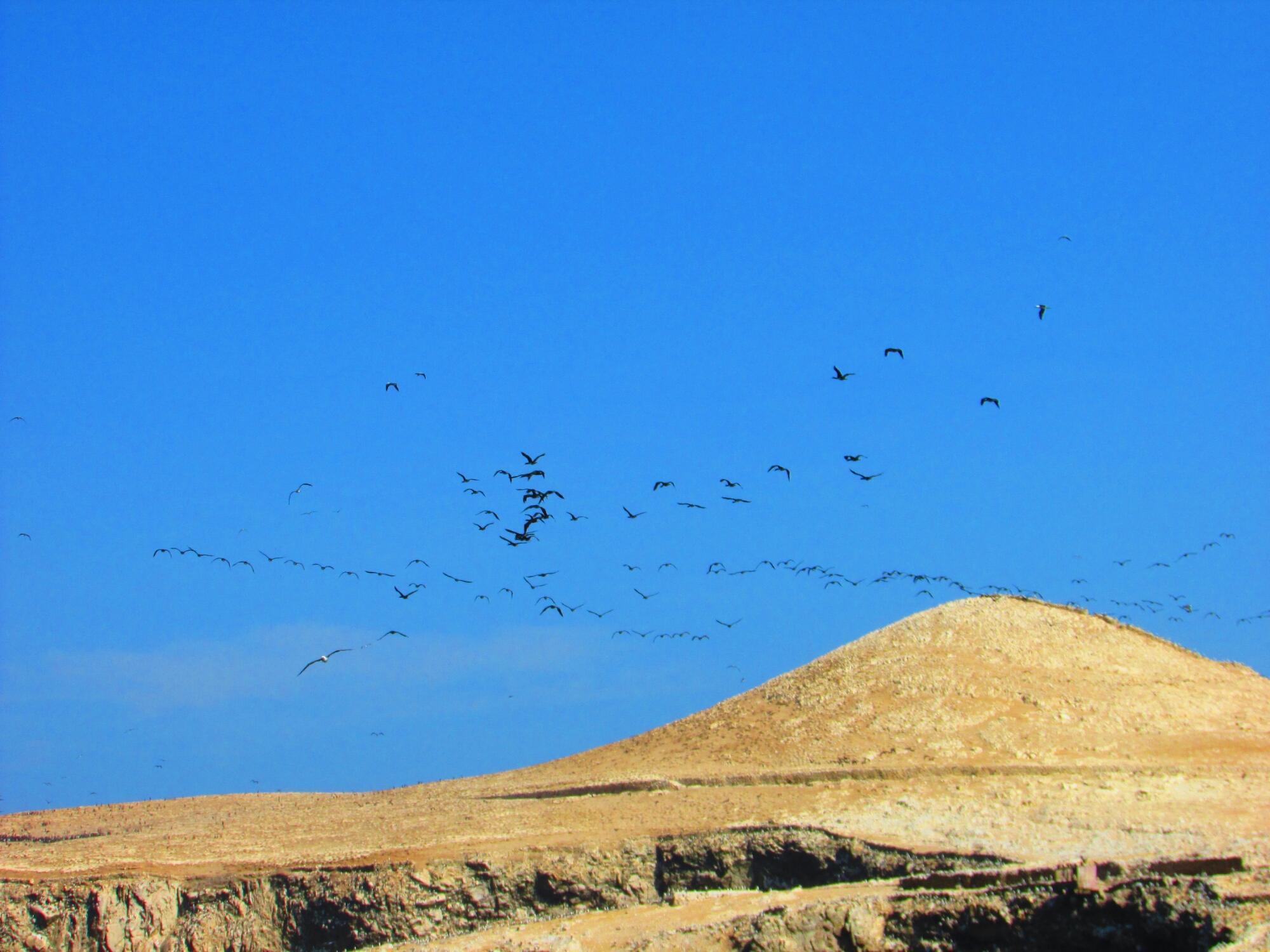 un montón de aves en libertad en Isla Ballesta en Paracas, Perú