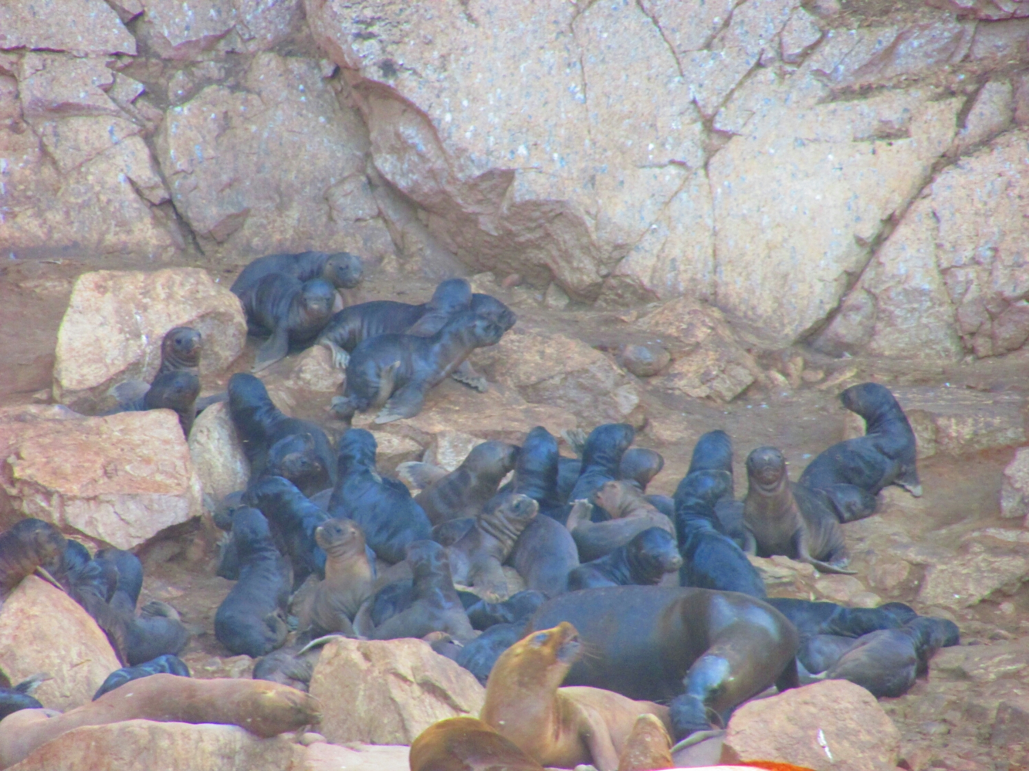 preciosos bebés lobo marinos en Isla Ballesta en Paracas, Perú