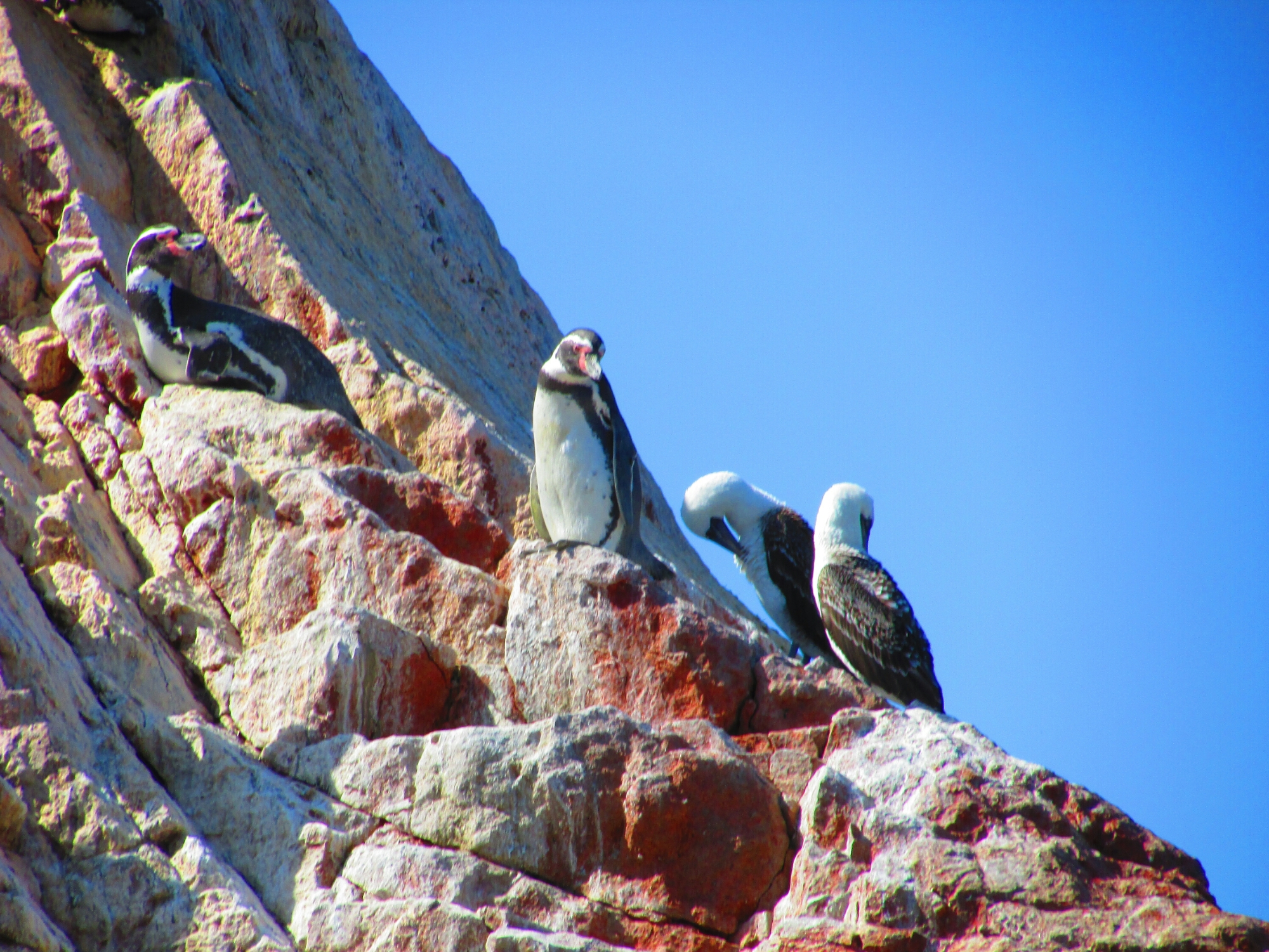 Pingüinos y aves en Isla Ballesta en Paracas, Perú