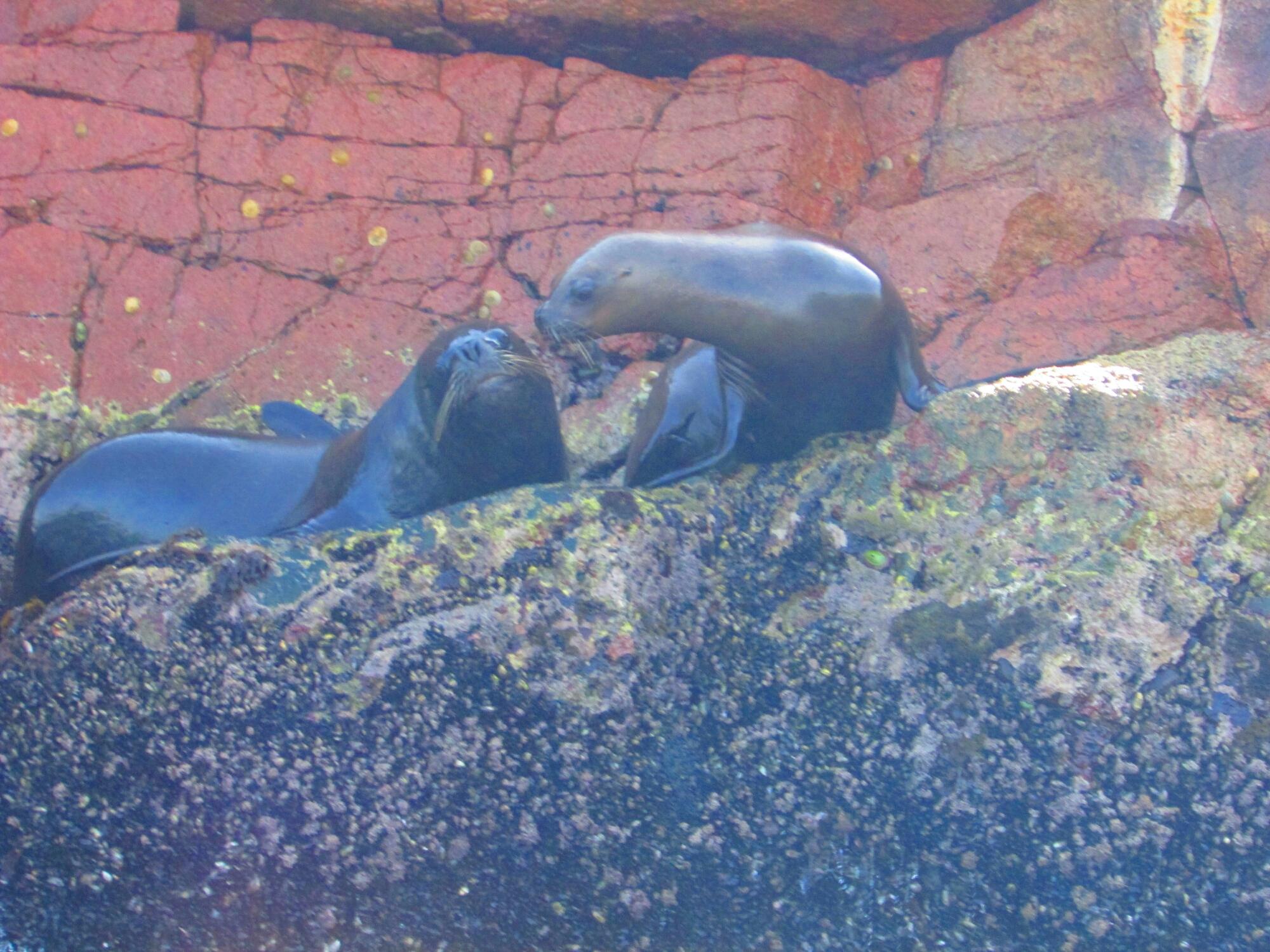dos lobos marinos dándose un beso en Isla Ballesta en Paracas, Perú