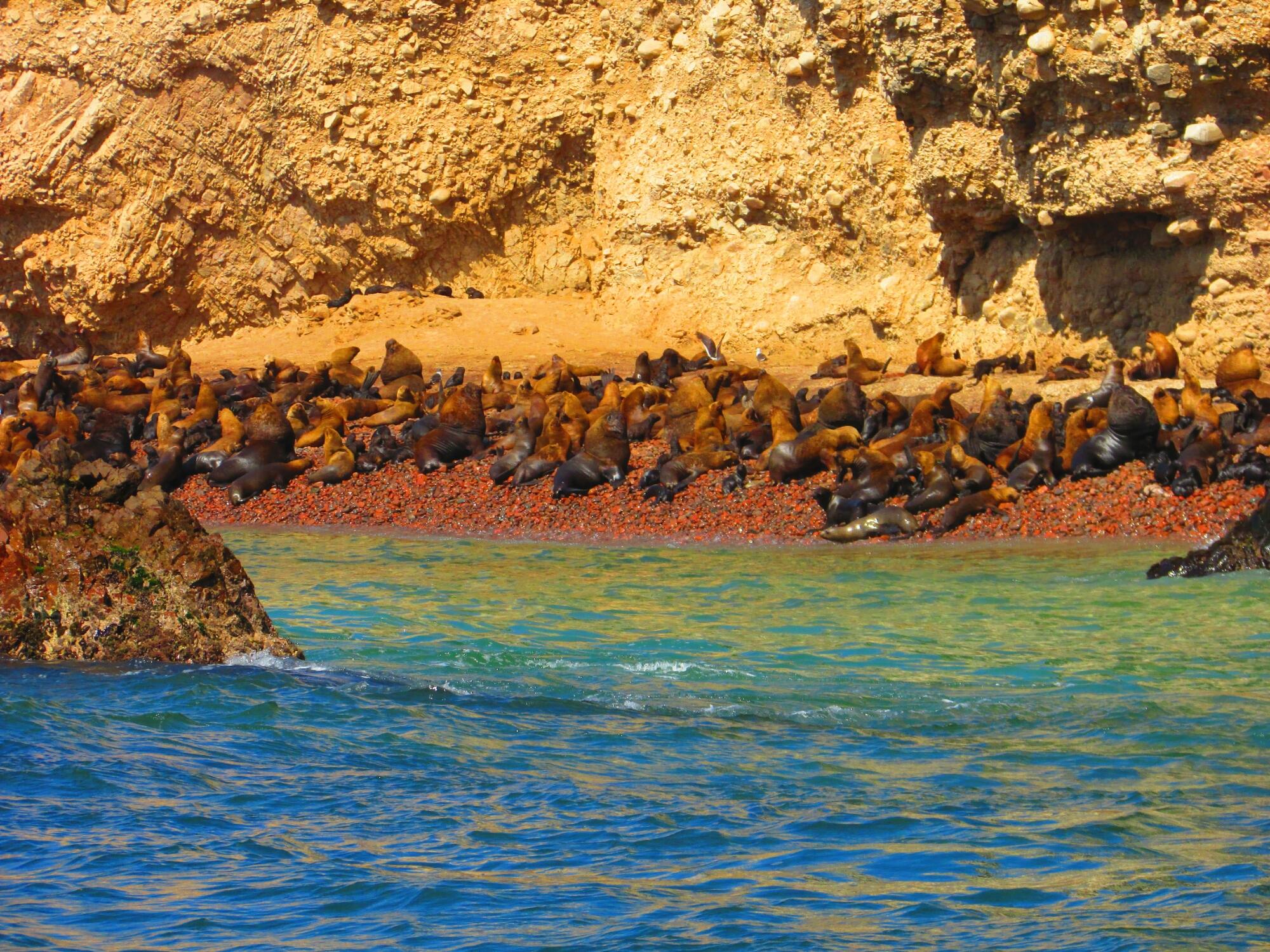 lobos marinos en Isla Ballesta en Paracas, Perú