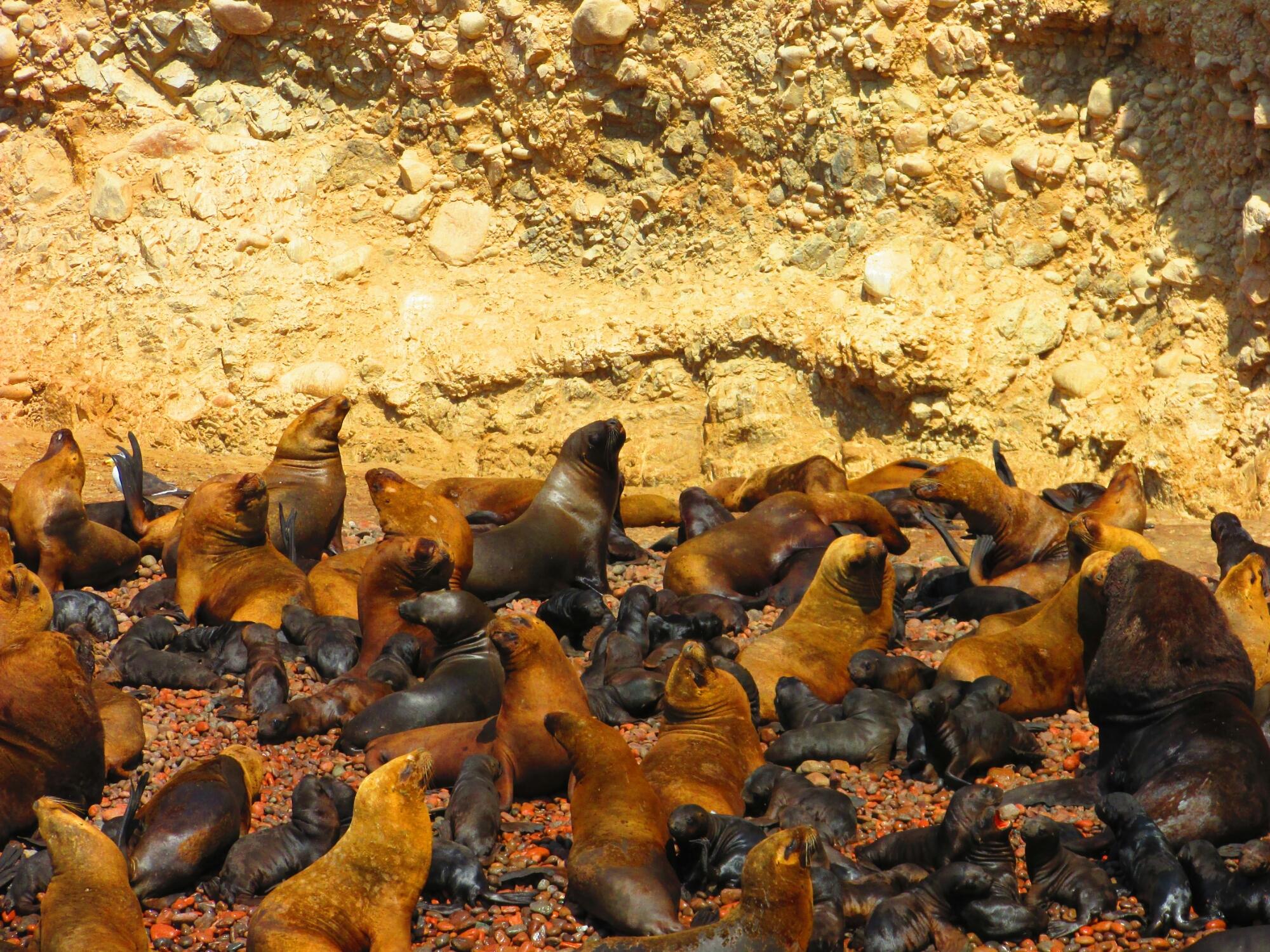 lobos marinos en Isla Ballesta, Paracas, Perú