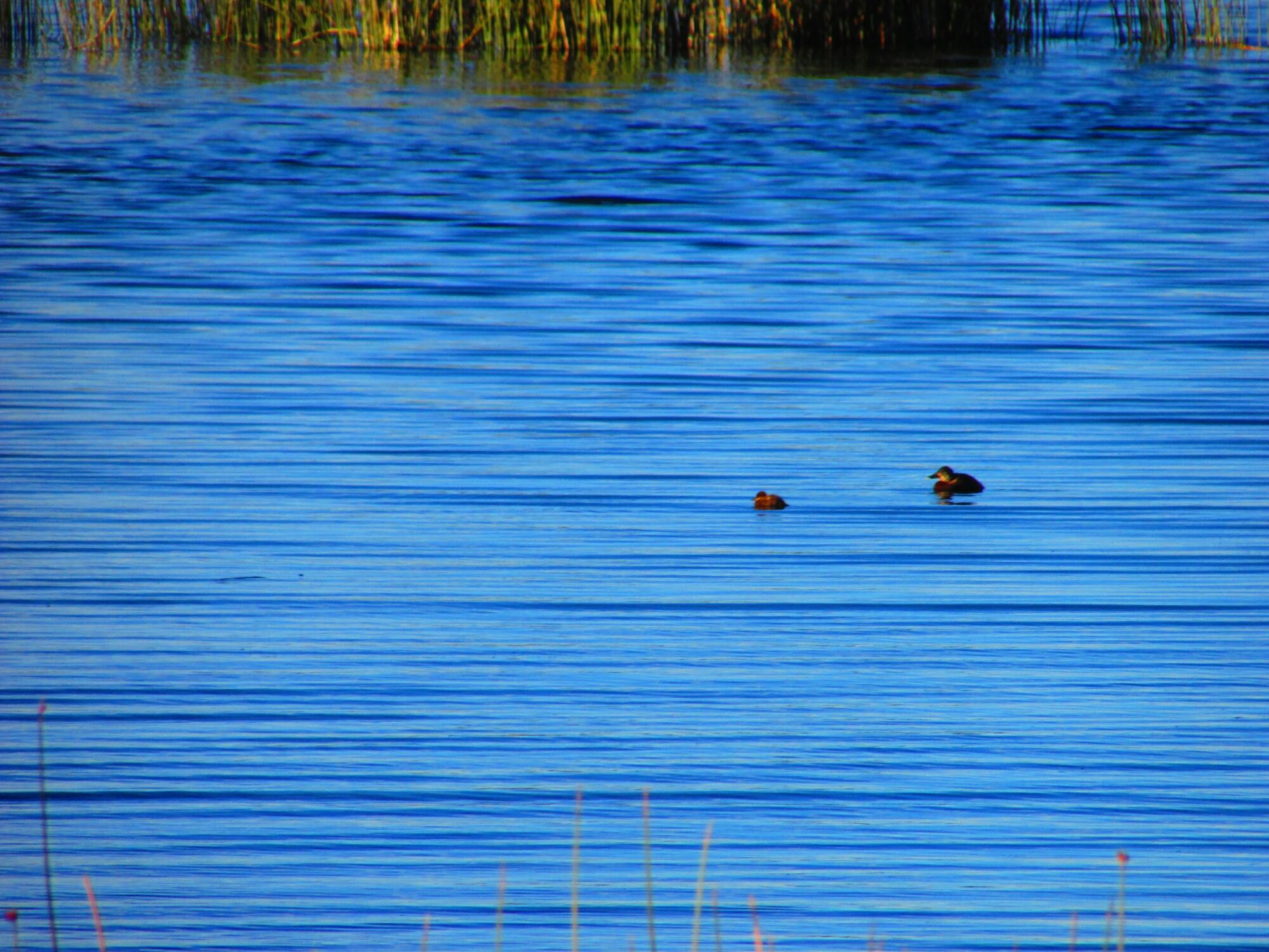 el tranquilo y relajante lago Titicaca con el junco de fondo